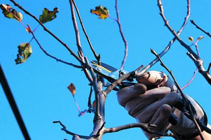 Metodo per la potatura delle piante l 39 altra soresina for Elenco alberi da frutto